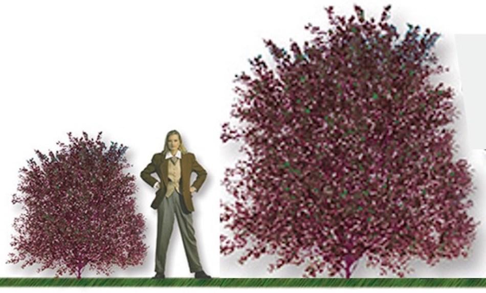 Image comparant un physocarpe pourpre d'après les fausses dimensions données sur l'étiquette et les vraies dimensions.