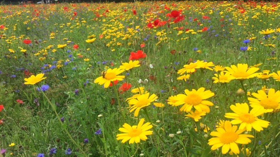 Pré fleuri avec différentes fleurs, mais dominé par des chrysanthèmes couronnés jaunes
