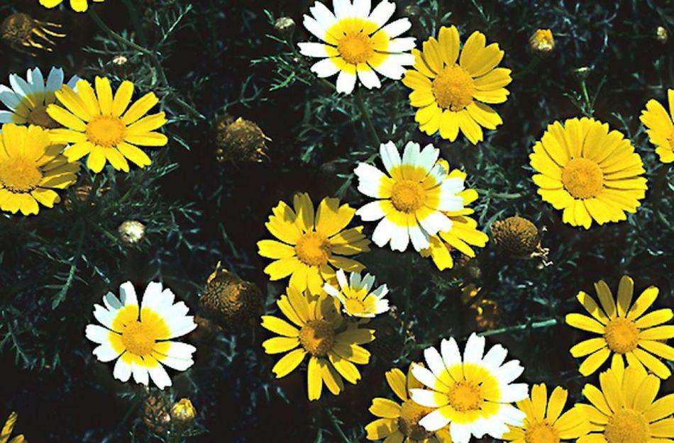 Différentes couleurs de chrysanthème couronné: Jaune et blanc et jaune.