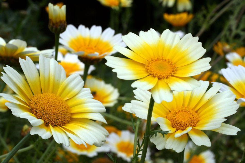 Fleurs de chrysanthème couronné, blanches avec un disque et un halo jaune vif.