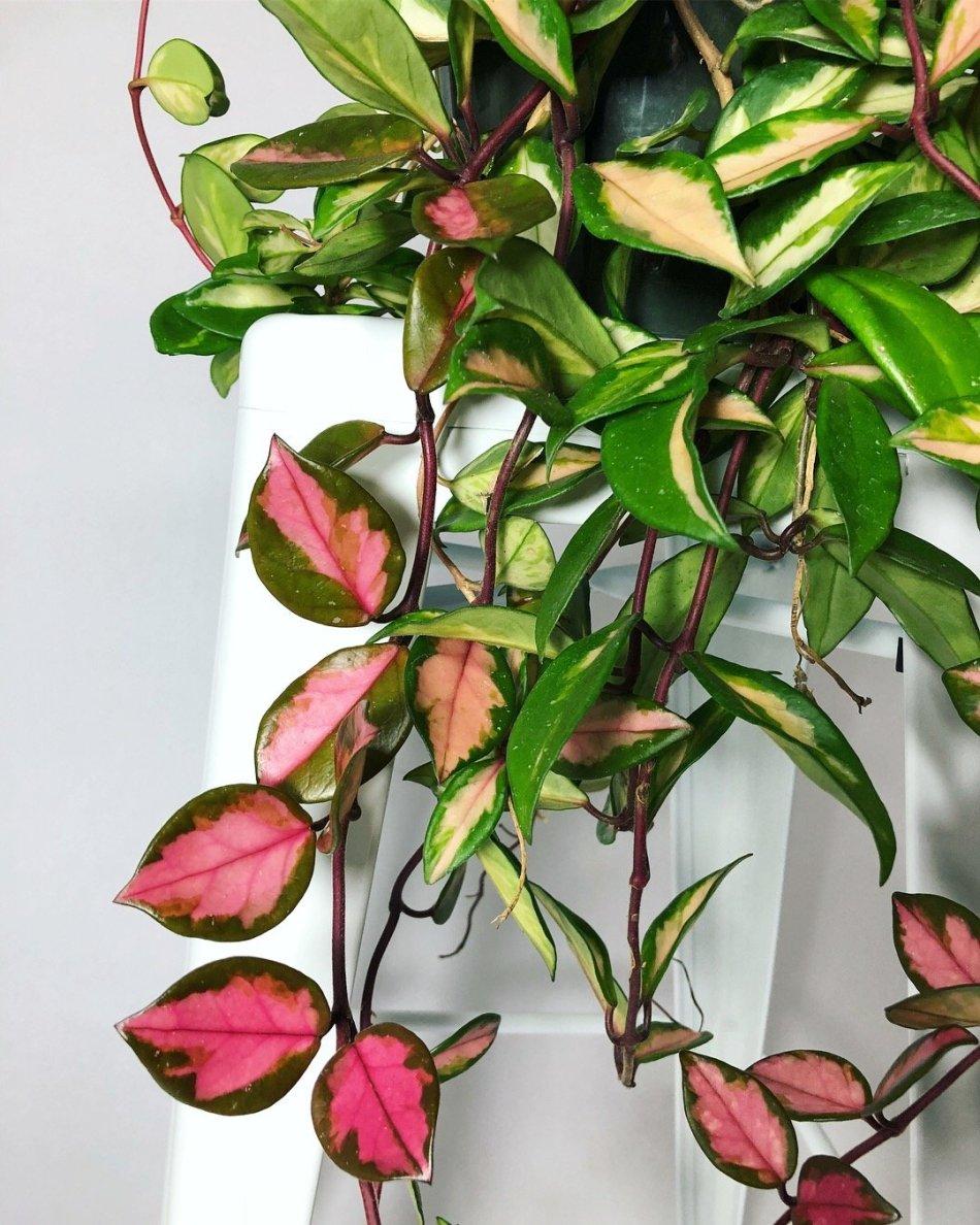 Hoya à feuilles épaisses rouges, crème et vert, tiges épaisses retombantes, sur fond blanc.