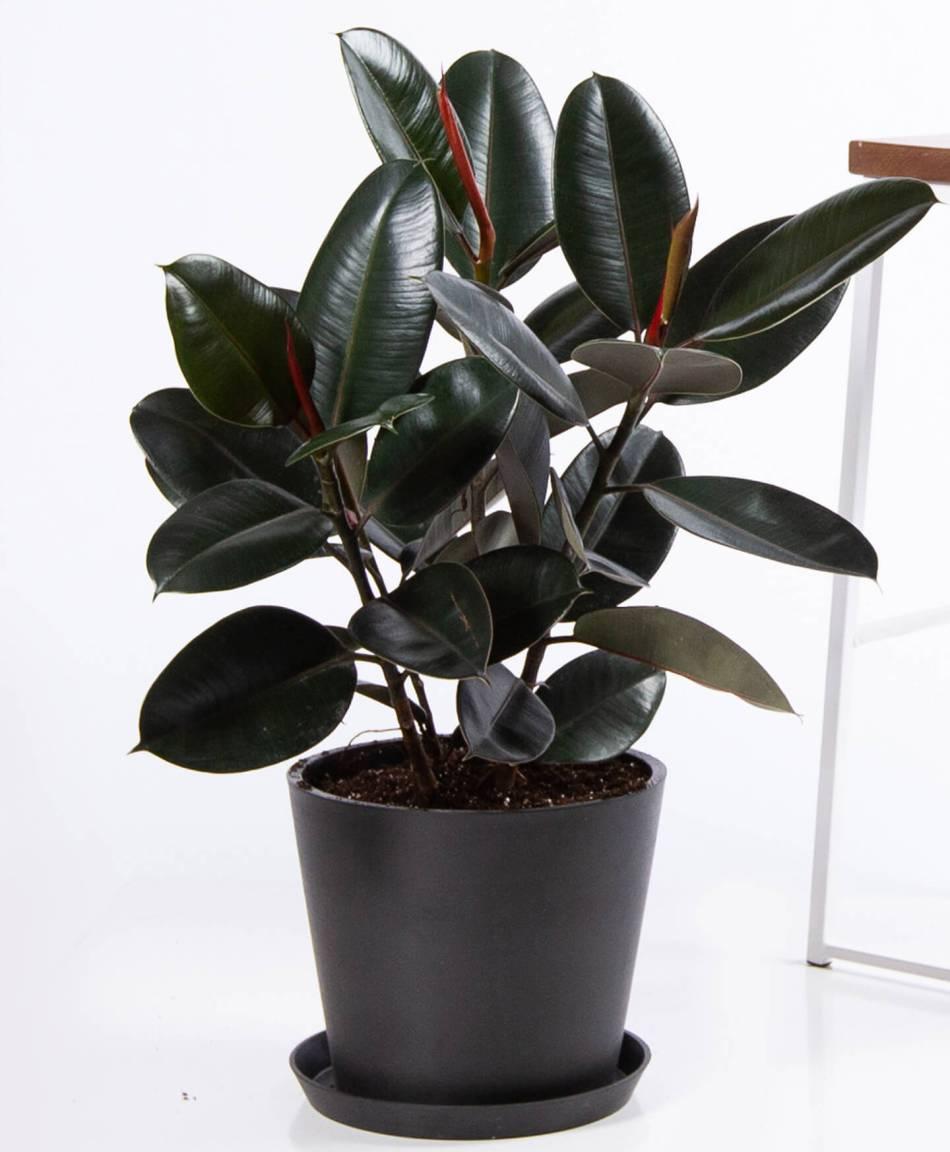 Grand plante caoutchouc à feuilles lisses très foncé dans un pot noir.