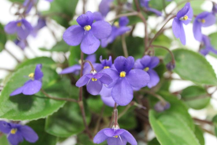 Fleurs de violette africaine sauvage, bleu-violet, centre jaune, 2 petits pétales vers le hauts, 3 plus gros vers le bas