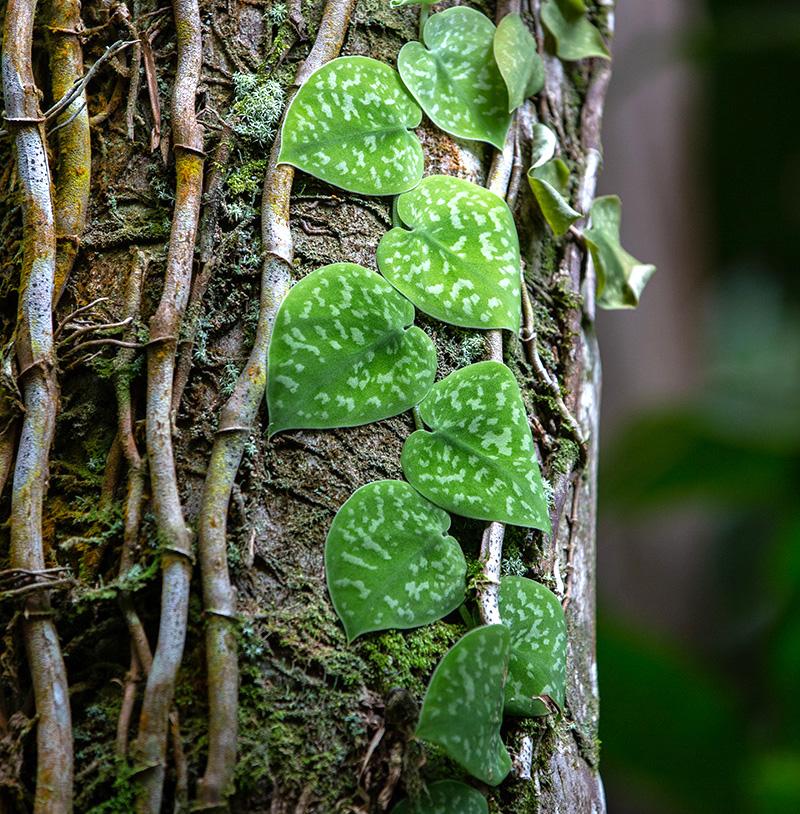 Scindapsus pictus poussant sur un tronc d'arbre, avec des tiges grimpantes et des feuilles vertes marbrées d'argent