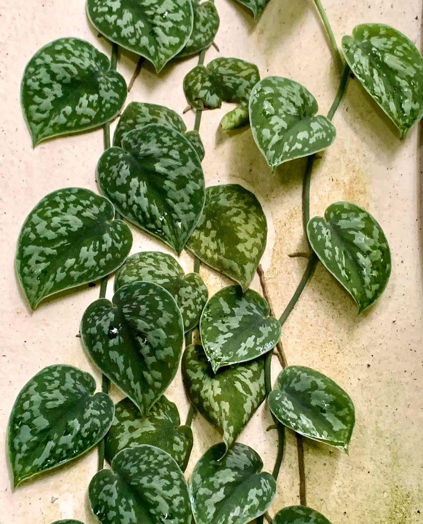 Scindapsus avec des feuilles vertes marbrées d'argent qui grimpe sur un mur.