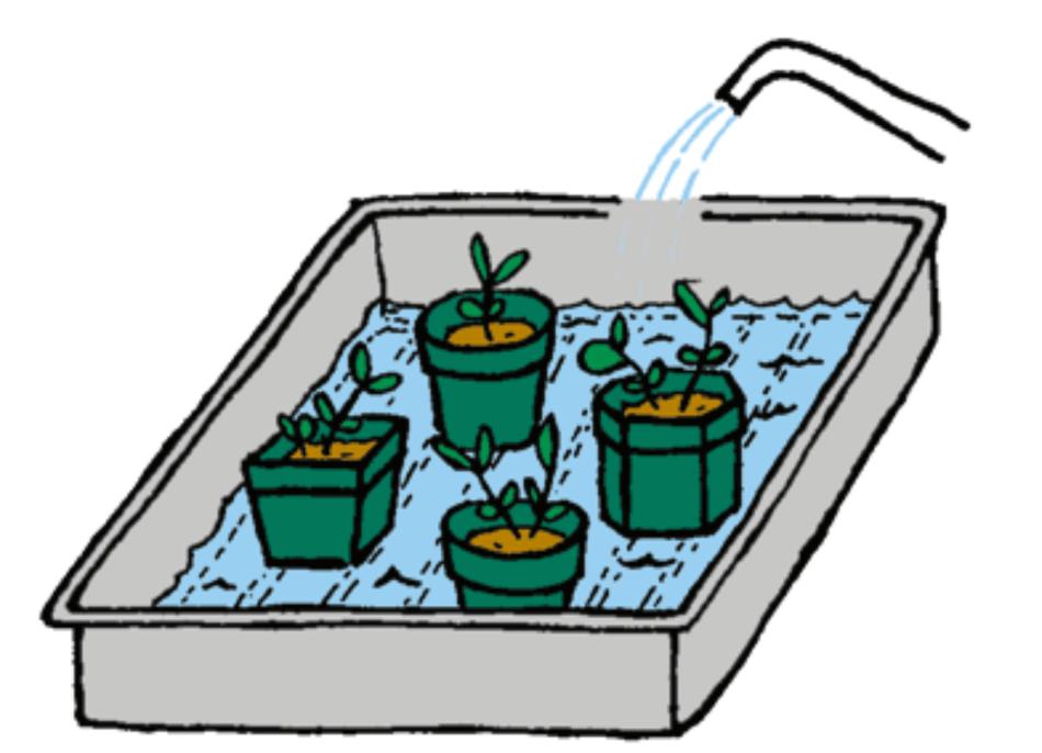 Pots de semis qui trempent dans l'eau d'un plateau.