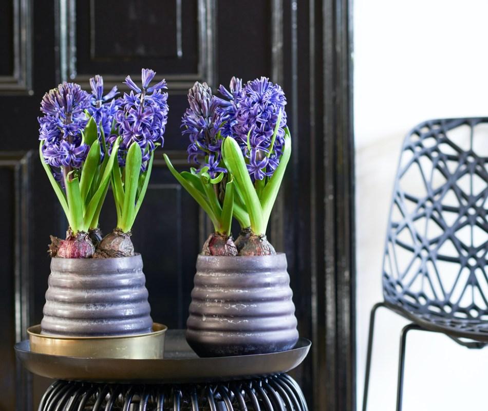 Deux pots violets contenant des jacinthes bleues.