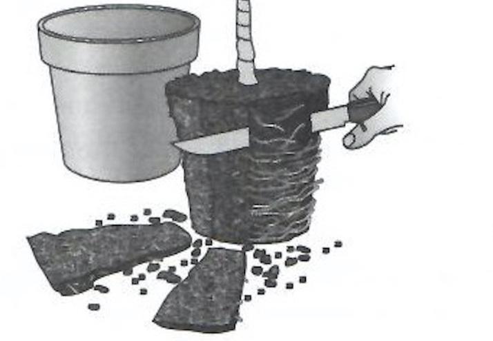 Illustration d'un couteau coupant des tranches de racine tout autour de la motte d'une plante.