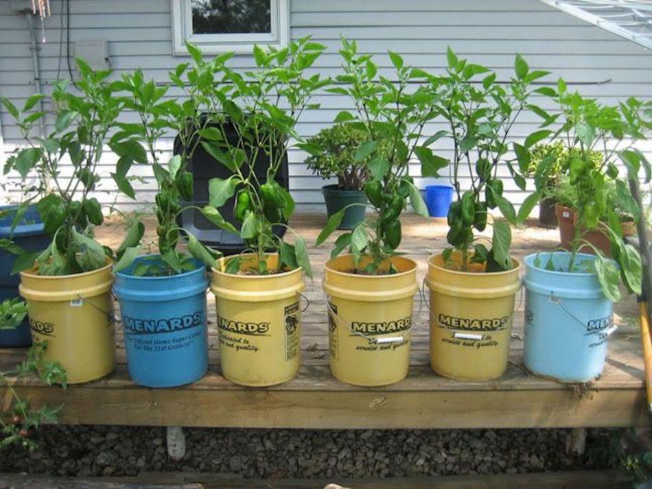 Plants de piment dans une rangée de seaux de plastique recyclés.