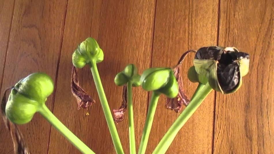 Capsules de graines d'amaryllis vertes immatures; une capsule est brune et mature.