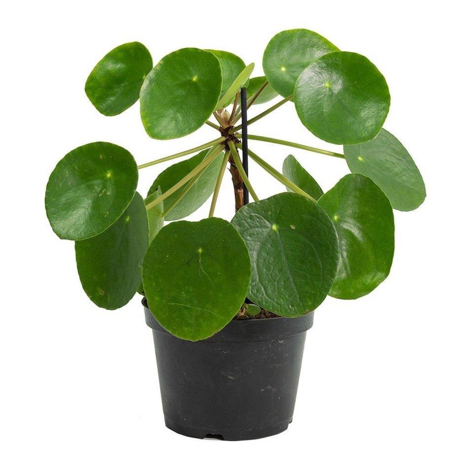 Plante à monnaie chinoise à feuilles rondes, fines et plates.