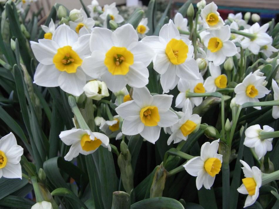 Fleurs de lis sacré chinois, blanches avec centre orange.