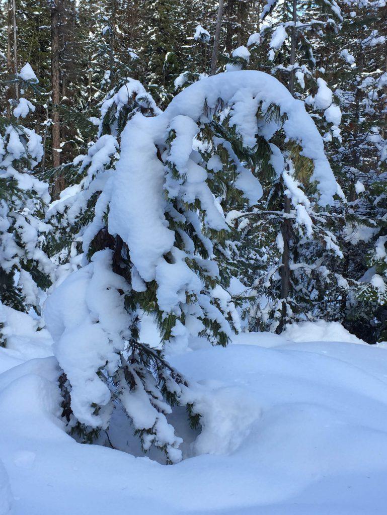Pin plié sous le poids de la neige.