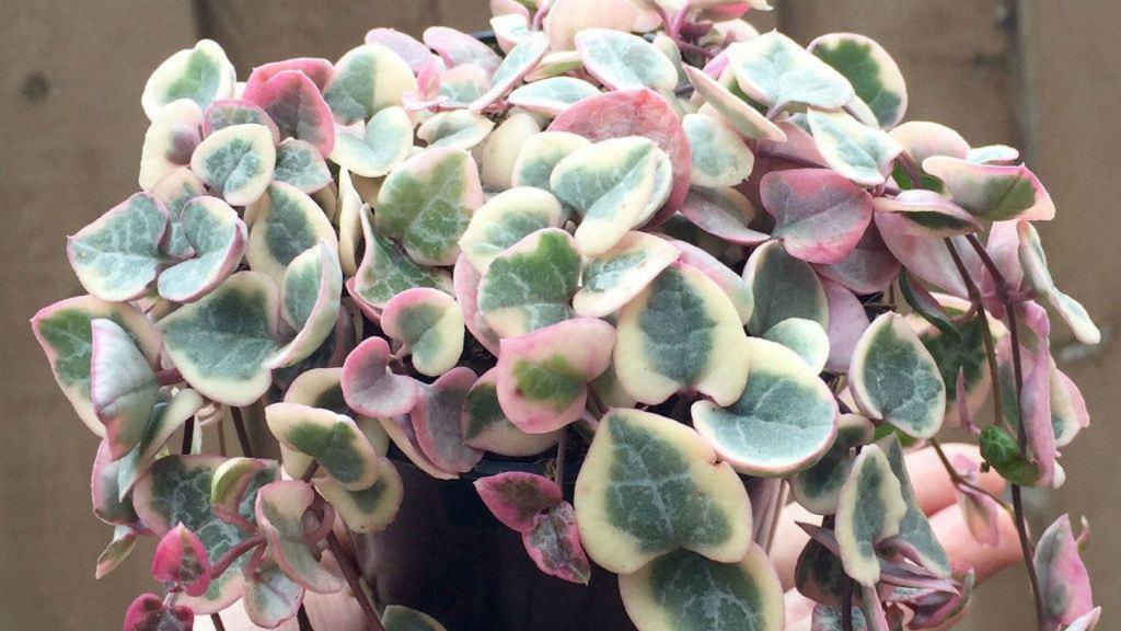 chaîne des cœurs panachée avec feuilles ourlées de crème et de rose.