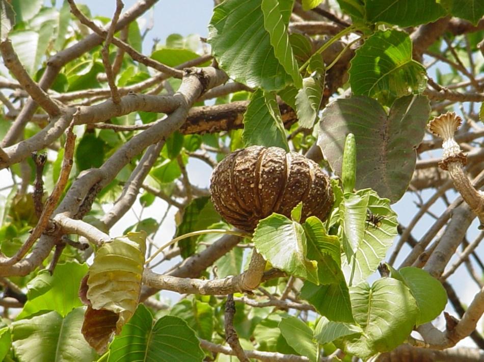 Fruit de l'arbre dauphin (Hura crepitans)