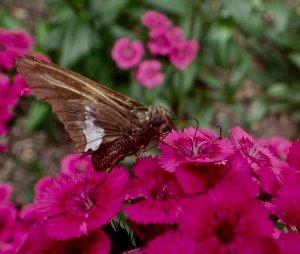 Œillet des poètes 'Jolt' avec le papillon hespérie à taches argentées
