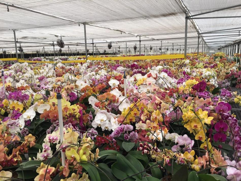 Serre remplie d'orchidées phalaenopsis.