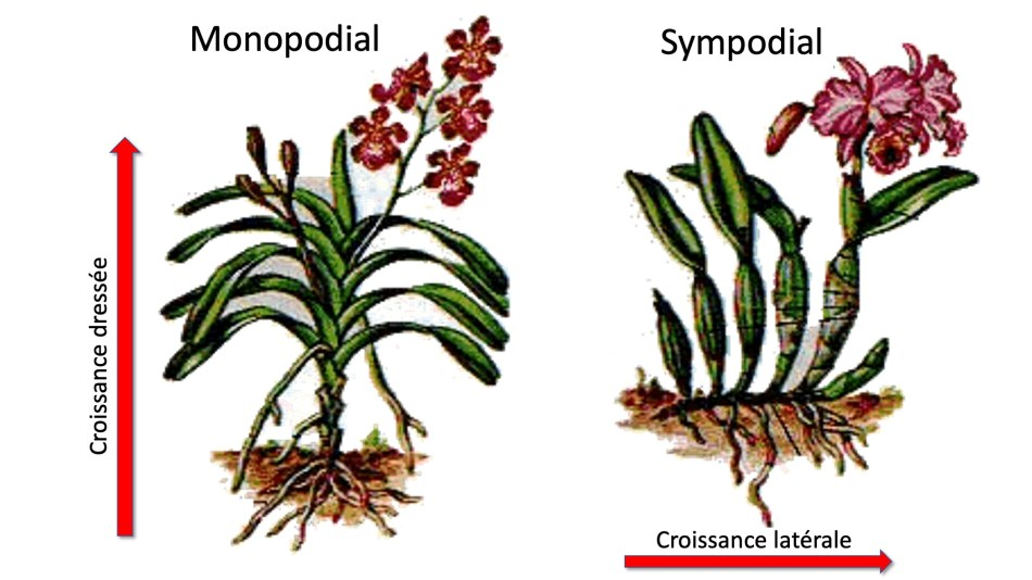 Illustration d'orchidées sympodiales et monopodiales.