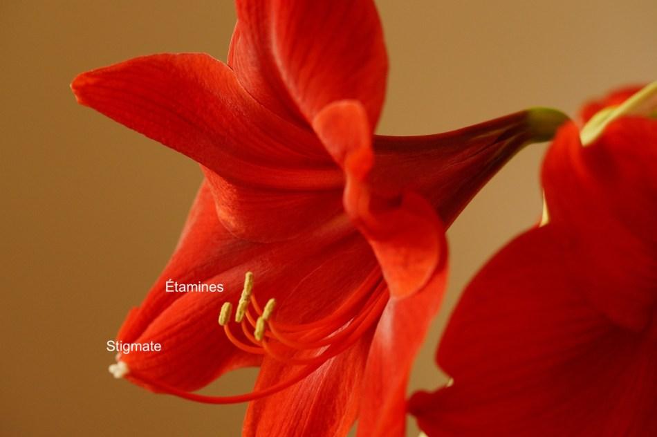 Fleur d'amaryllis rouge montrant des anthères et un stigmate.