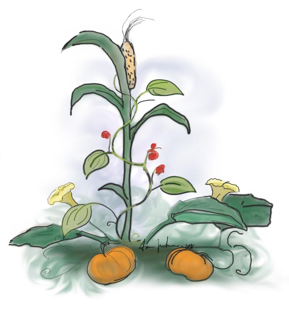 Illustration montrant la culture des trois sœurs: haricots, maïs, courge.