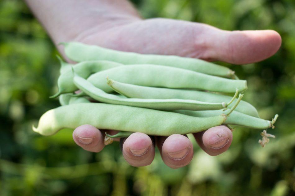 Main tenant des haricots verts à gousses plates.