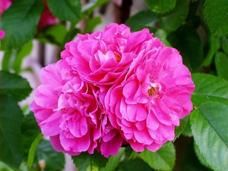 Rosier John Cabot à fleurs doubles roses.