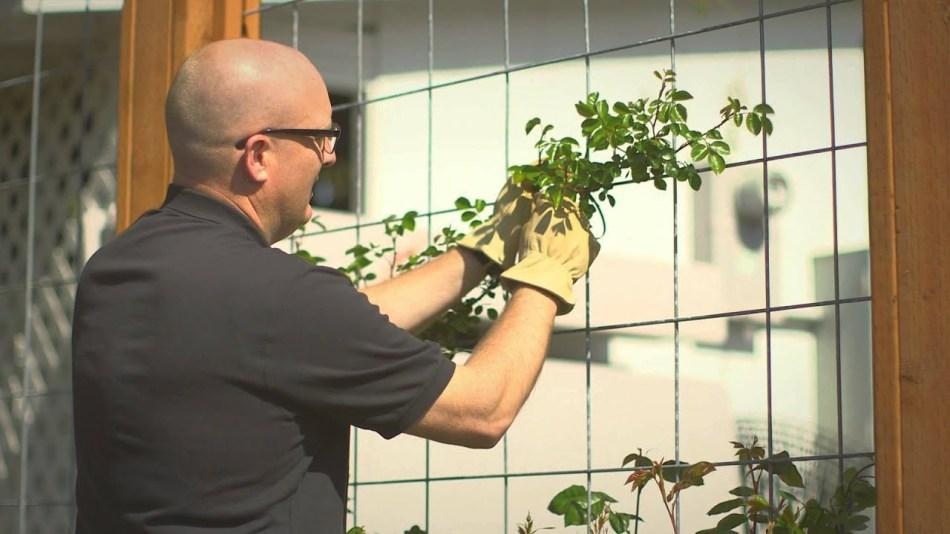 Homme qui fixe des branches de rosier sur un trellis.