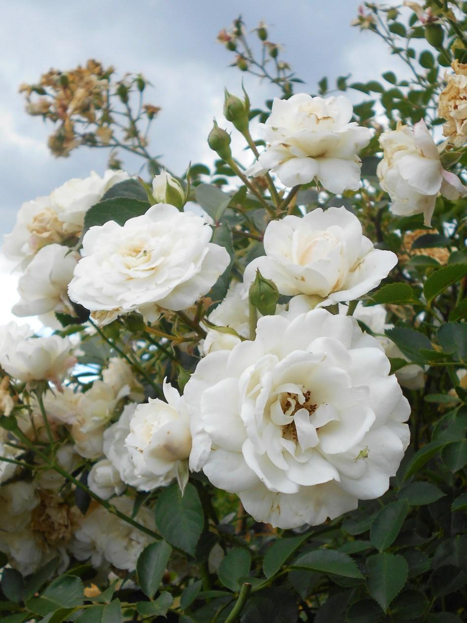Rosier grimpant 'White New Dawn' à fleurs blanches