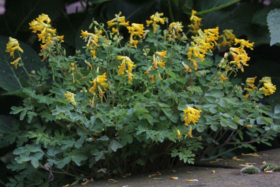 Fausse-fumeterre jaune avec des feuilles bleu-vert profondément coupées et des fleurs jaunes.