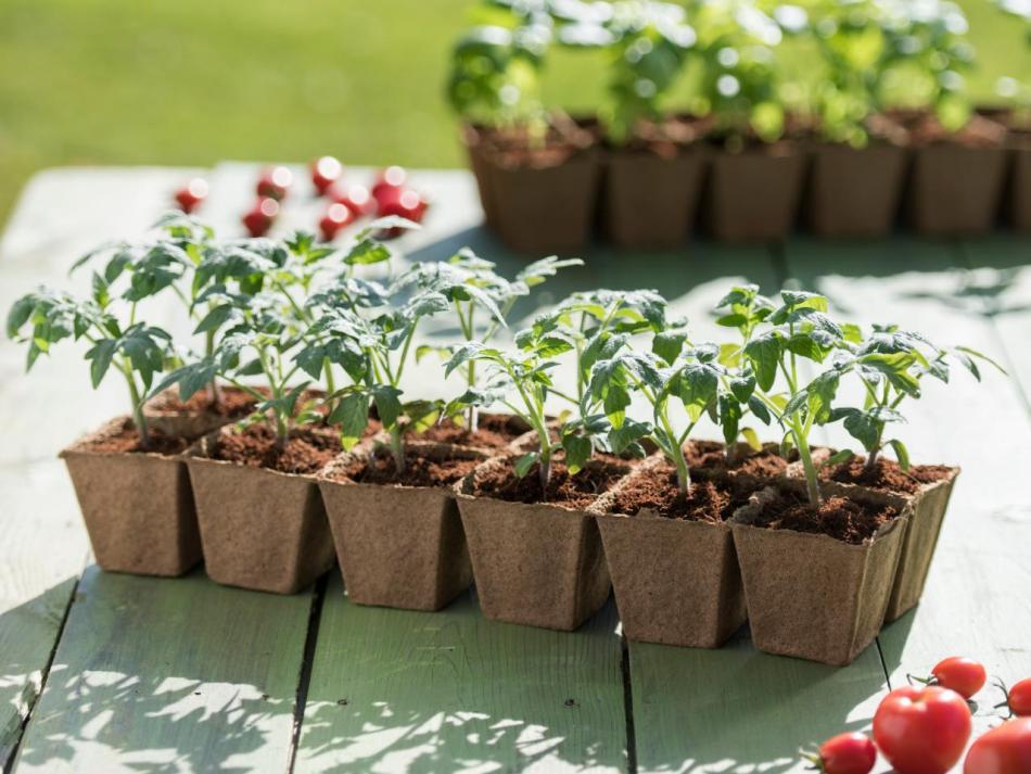 Plants de tomates dans des godets de tourbe.