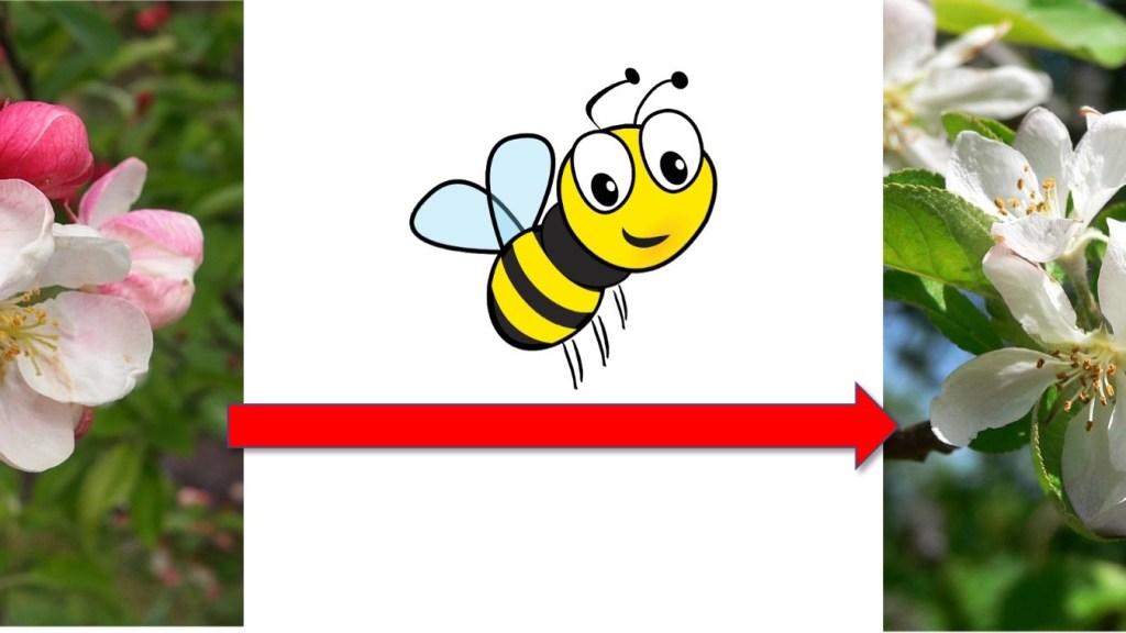 Abeille apportant du pollen d'une fleur de pommier à une autre.