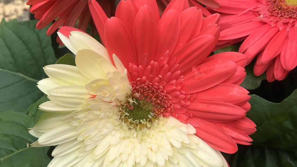 Gerbera à fleur moitié orange, moitié blanc crème.