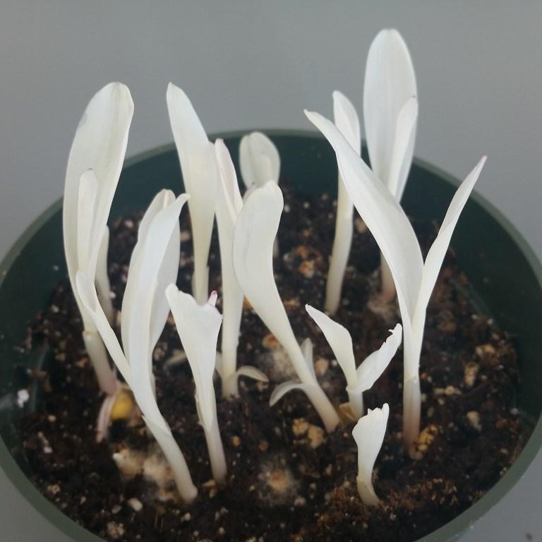 Semis albinos
