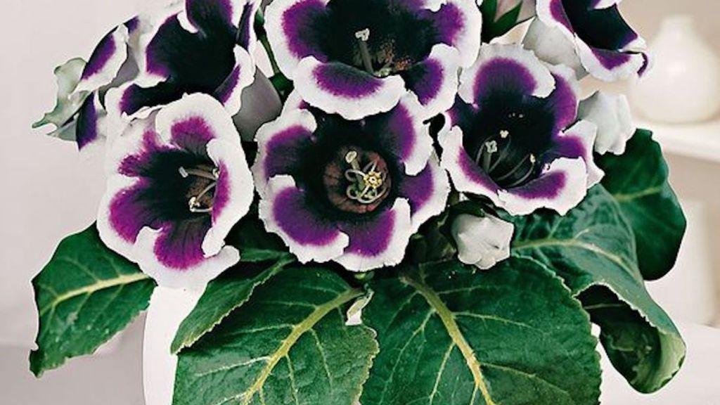 Gloxinia des fleuristes 'Kaiser Wilhelm' aux fleurs pourpres ourlées de blanc