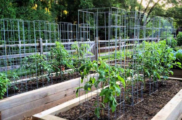 Tomates plantées dans de grosses cages à tomates