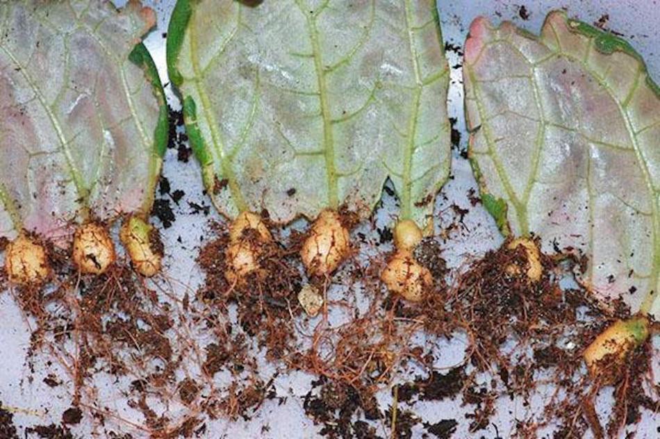Boutures de feuille de gloxinia des fleuristes montrant des tubercules.