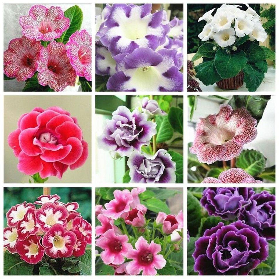Large gamme de fleurs de gloxinia des fleuristes de différentes couleurs.