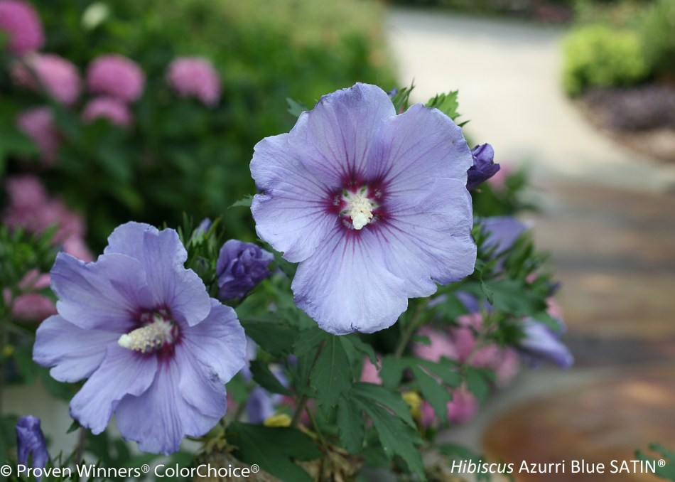 Hibiscus arbustif Azurri Blue Satin, à fleurs bleues.