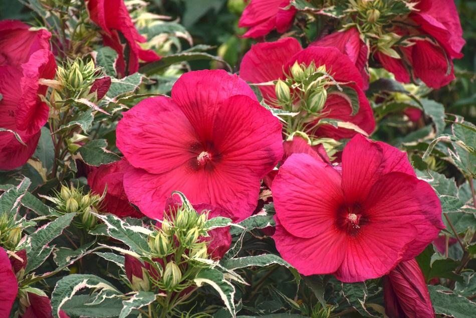 Hibiscus rustique 'Summer Carnival', à fleurs rouges et feuillage panaché.