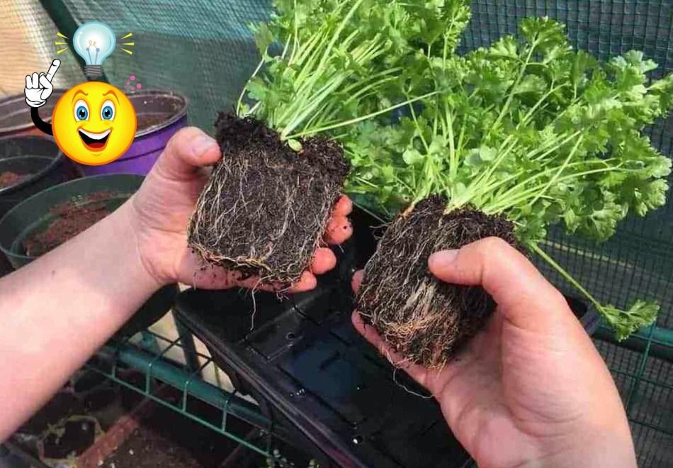 Touffe de semis de persil très serrés qu'on a coupée en deux en vue d'une division.