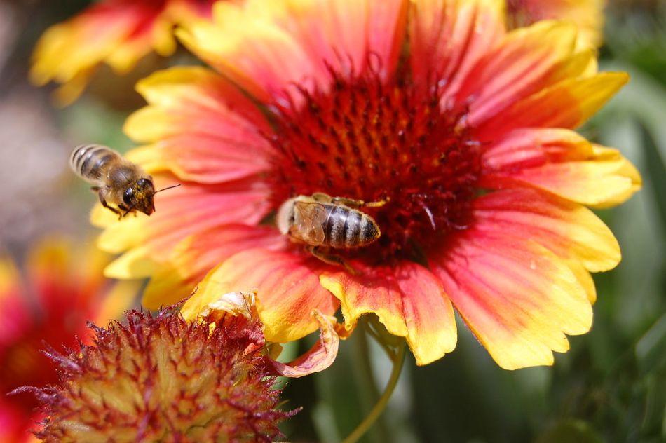 Abeilles visitant une fleur de gaillarde.