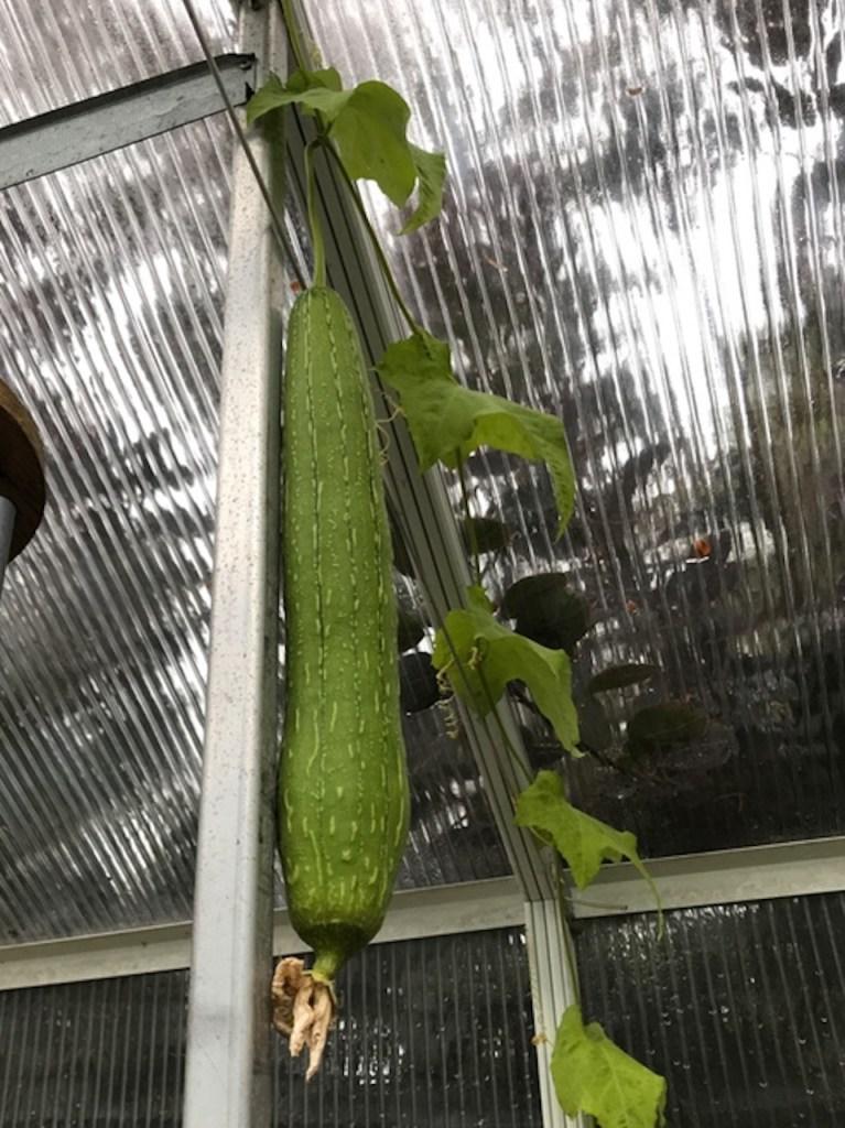 Fruite de luffa cultivé en serre.