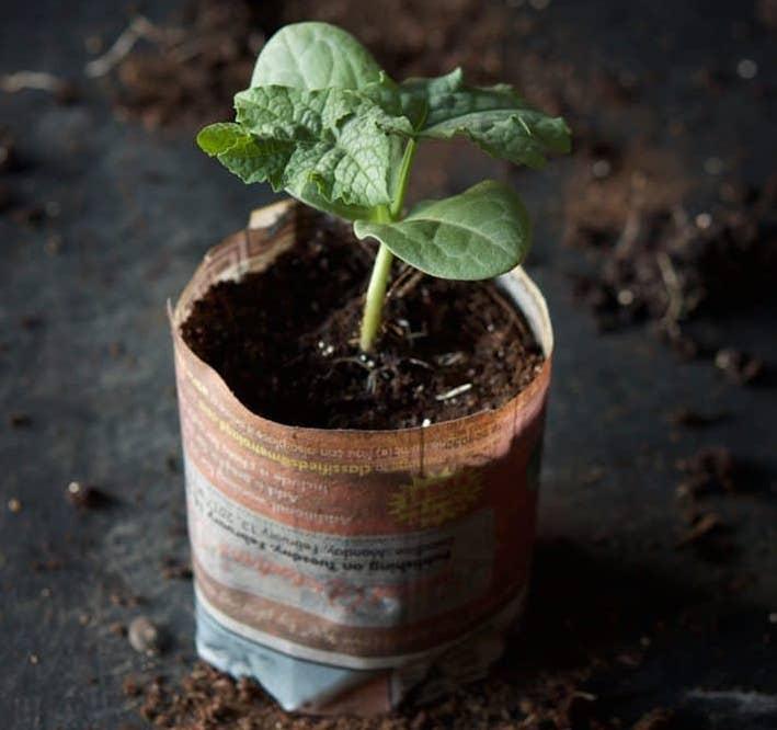 Semis de luffa dans un pot fait de papier journal.