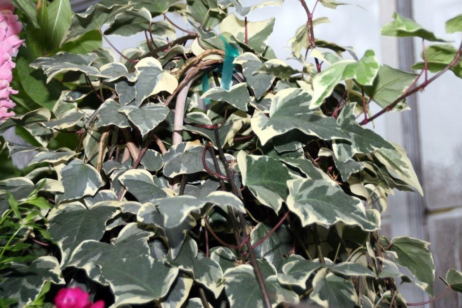 Lierre algérien 'Gloire de Marengo' à grandes feuilles panachées.