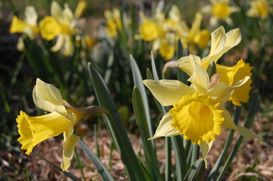 Narcisse jaune