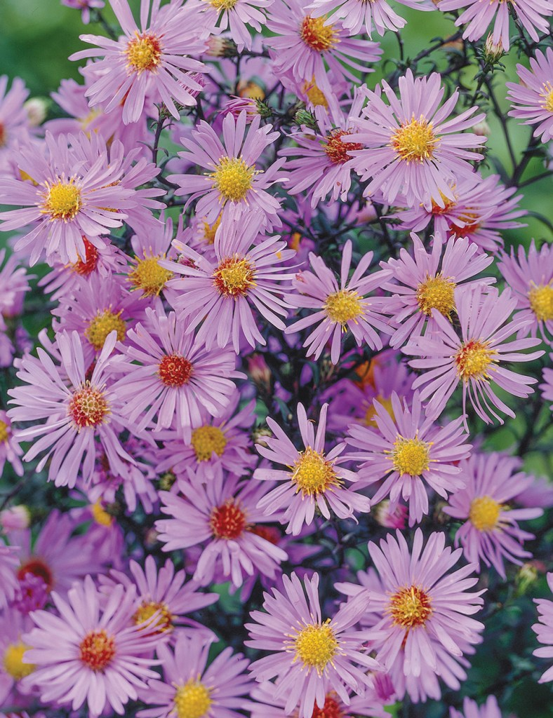 Pale purple aster flowers.