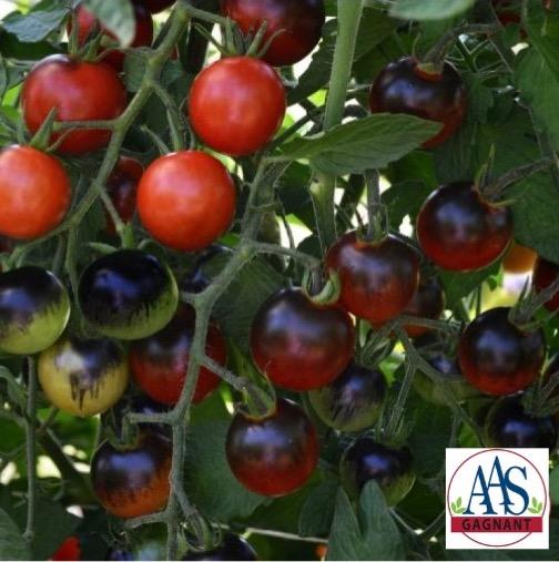 Petites tomates Midnight Snack pourpre foncé et rouge ou rouges.