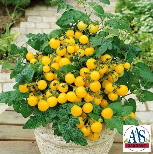 Petits fruits jaunes de la tomate 'Patio Choice Yellow'