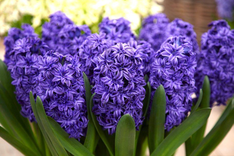 Jacinthe Royal Navy Blue à fleurs pourpre foncé doubles.