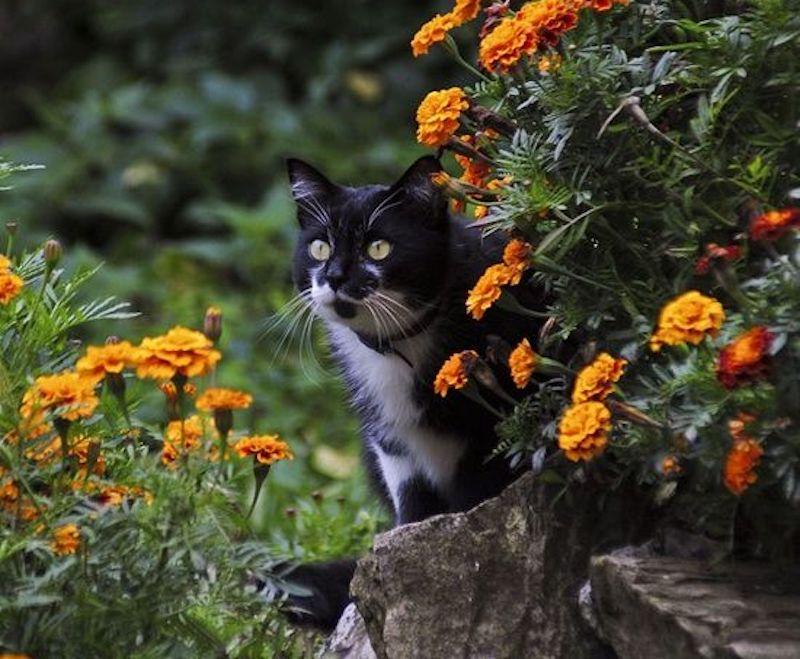 Chat qui frôle des oeillets d'Inde sans en être dérangé.
